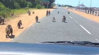 Baboons during Cape Town Tour