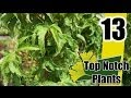 Lion's Head Japanese Maple - Top Notch Plants Episode 13